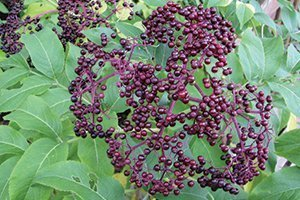top selling shrubs american elderberry sambucus canadensis for sale at johnson's nursery in menomonee falls wisconsin native shrub fruits catalog
