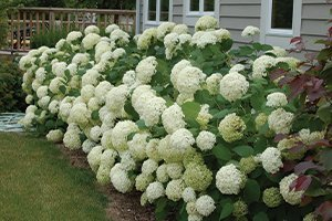 top selling best shrub annabelle hydrangea arborescens at johnson's nursery in menomonee falls wisconsin catalog