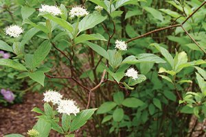 top selling shrubs arctic fire dogwood cornus stolonifera farrow white flowers catalog