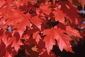 autumn blaze maple acer freemanii catalog