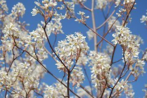 autumn brilliance serviceberry amelanchier grandiflora catalog