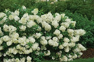 bobo hydrangea paniculata ilvobo johnson's nursery menomonee falls wisconsin catalog
