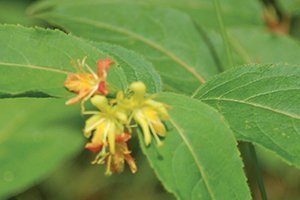 dwarf bushhoneysuckle diervilla lonicera wisconsin native shrub catalog