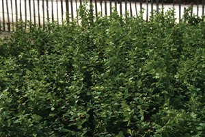 gro low sumac rhus aromatica gro-low at johnson's nursery catalog