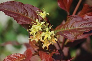 jewel bushhoneysuckle diervilla lonicera red leaf foliage yellow flower shrub catalog