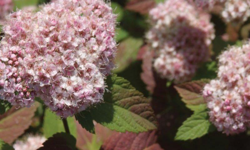 new plants 2021 at johnson's nursery in menomonee falls ftimg