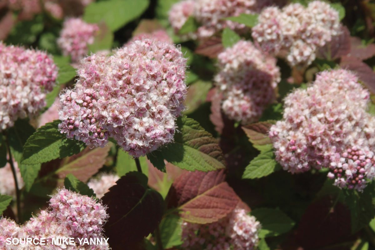 new plants 2021 spot on spirea spiraea fritschiana at johnson's nursery