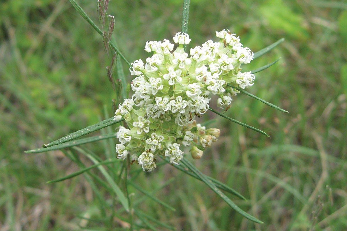 new plants 2021 whorled milkweed asclepias verticillata wisconsin native perennial flower at johnson's nursery menomonee falls