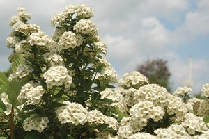 top selling shrubs tor spirea spiraea betulifolia white flowering shrub johnson's nursery wisconsin catalog
