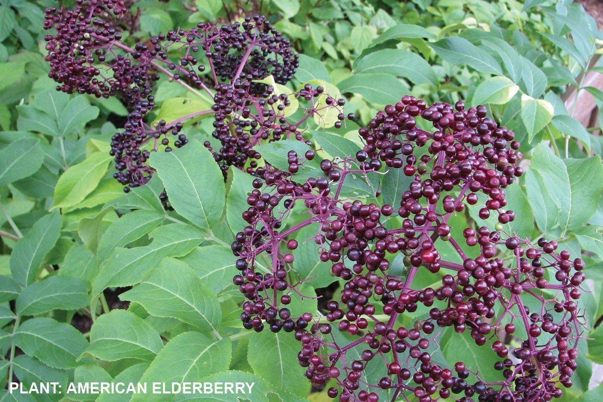 american elderberry wisconsin native shrub fruits for your bird garden