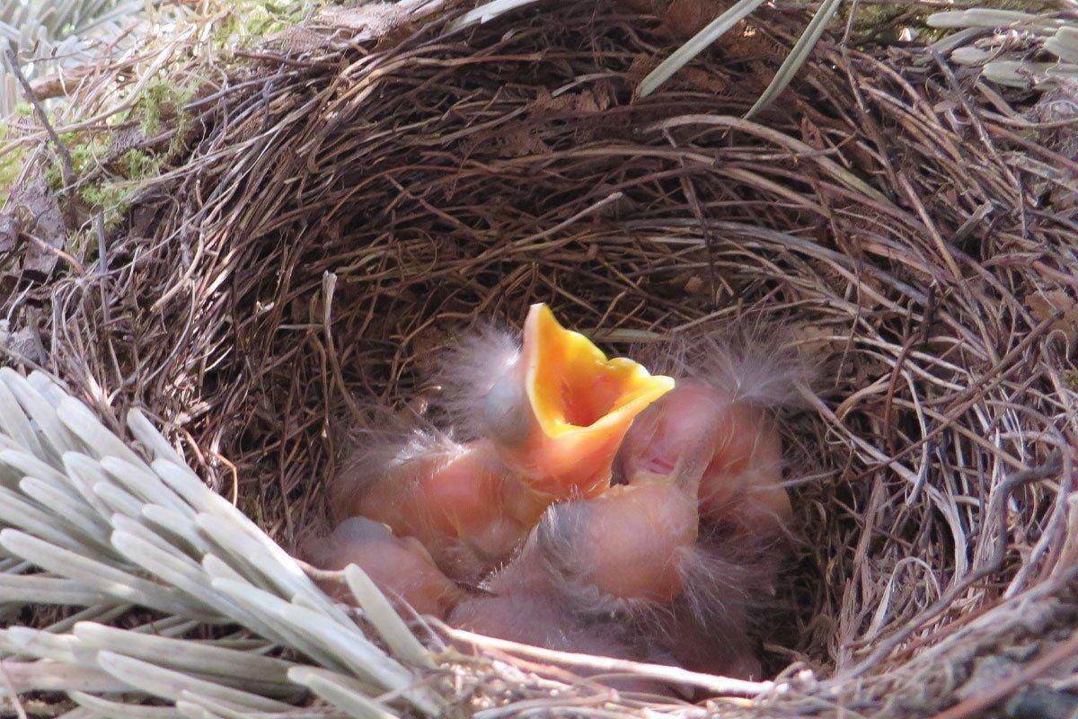 baby birds in a nest in your bird garden
