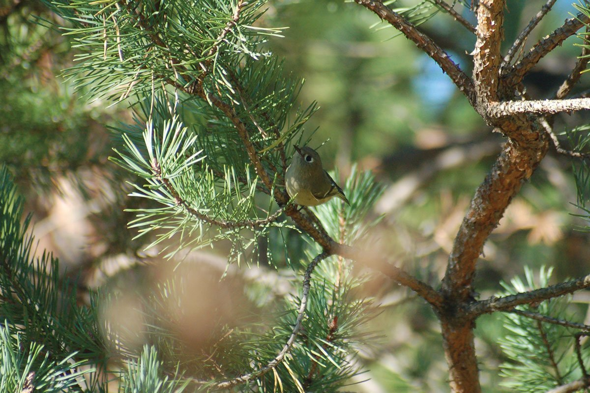 birds hiding in dense plants like evergreens in your wisconsin bird garden