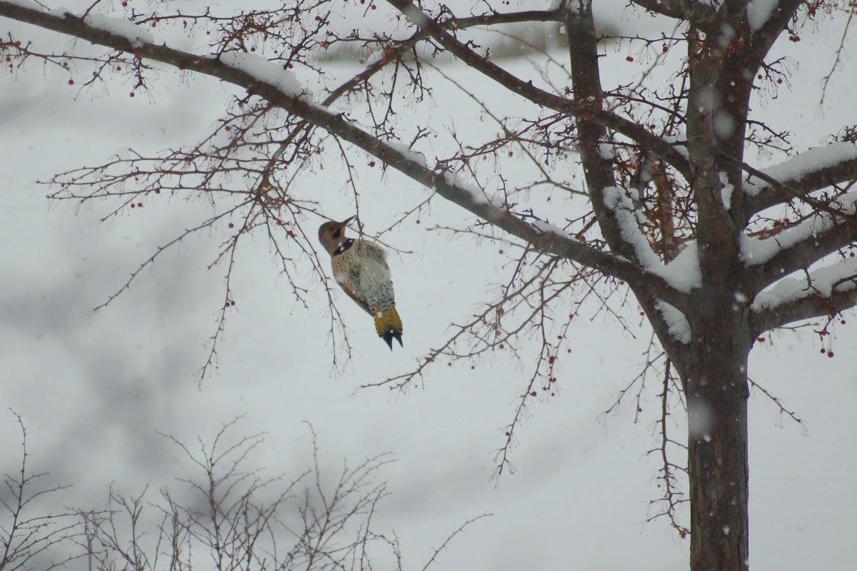 northern flicker on a crabapple tree at johnson's nursery bird garden