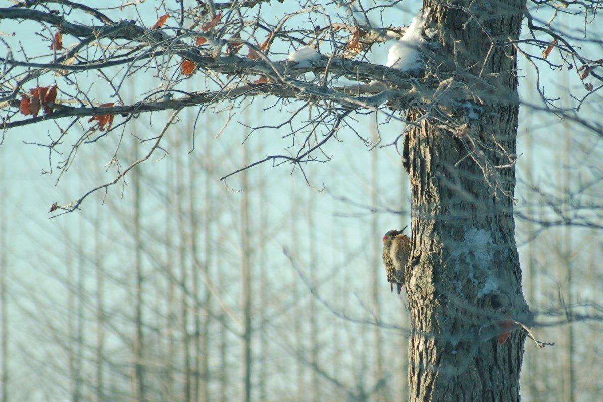 woodpecker on swamp white oak at johnson's nursery bird garden wisconsin