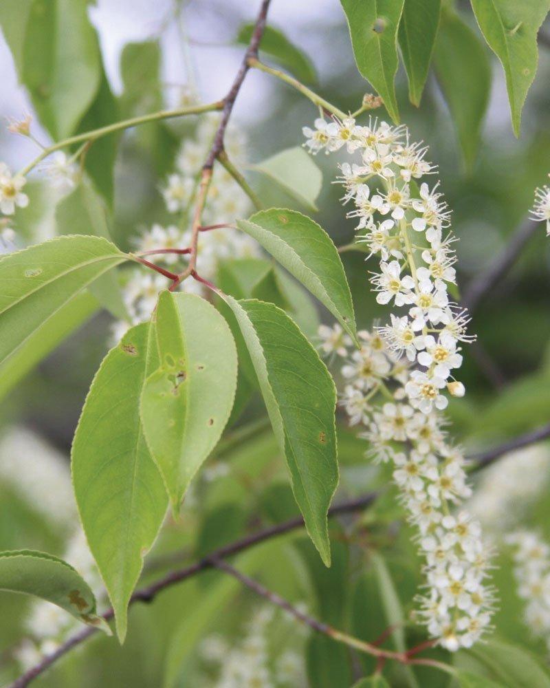 black cherry prunus serotina native tree ftimg