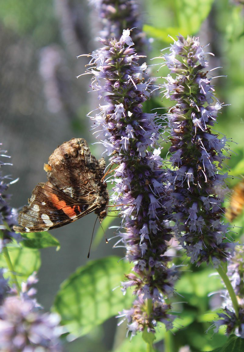 butterfly on blue fortune anise hyssop agastache ftimg