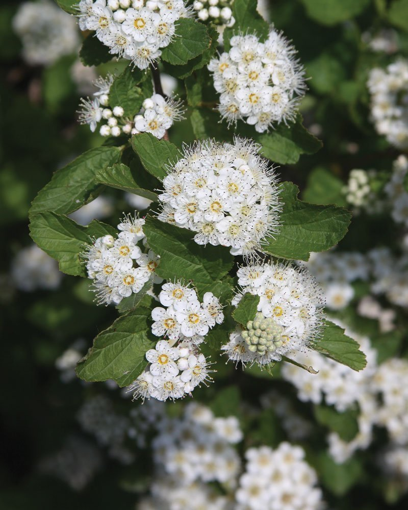 common ninebark wisconsin native shrub physocarpus opulifolius flowering ftimg