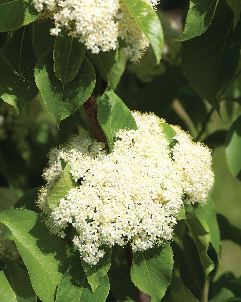 nannyberry viburnum lentago wisconsin native shrub white flowers ftimg