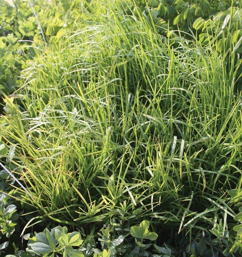 native bluegrass poa palustris wisconsin grasses ftimg