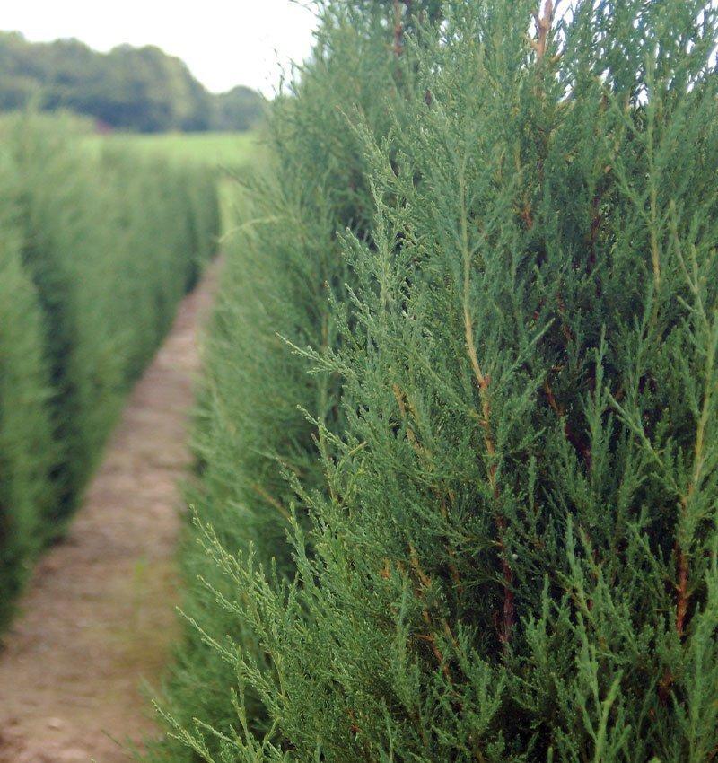 taylor juniper juniperus virginiana columnar conifer evergreens ftimg