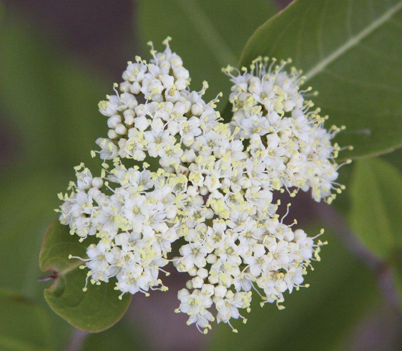 witherod viburnum cassinoides white flowering native shrub ftimg