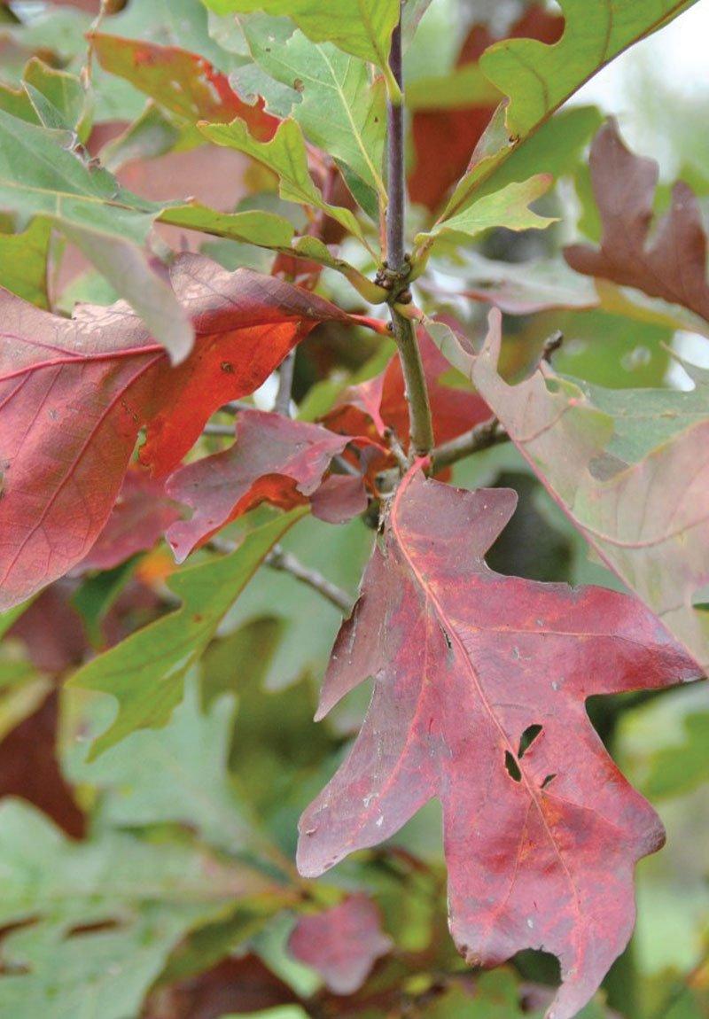 white oak quercus alba wisconsin native trees ftimg