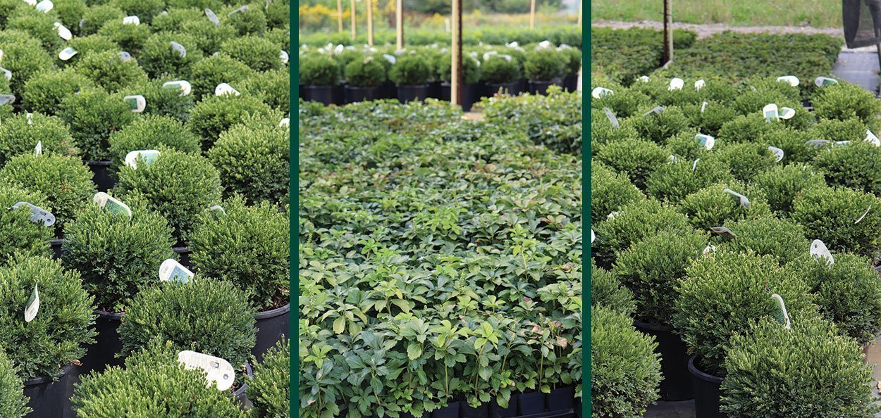 johnson's nursery boxwood blight compliance keeping clean protocol wisconsin datcp