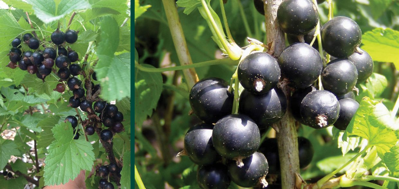 consort black currant ribes nigrum milwaukee