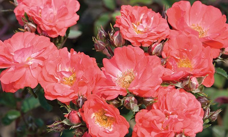 coral drift rose rosa ftimg