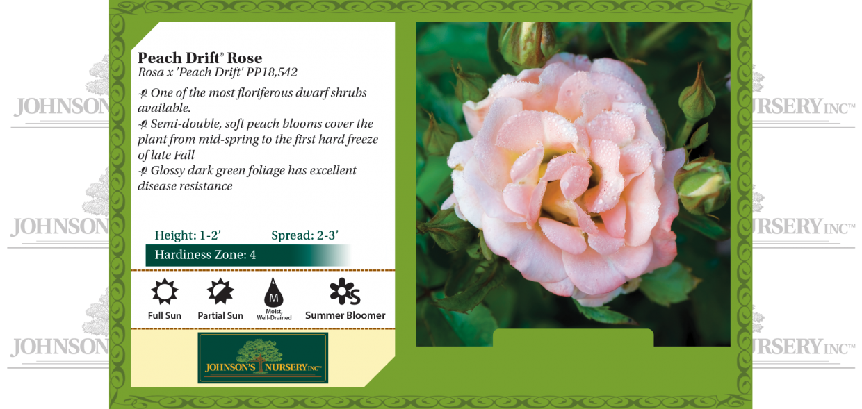 Peach Drift® Rose Rosa x 'Peach Drift' PP18,542 benchcard
