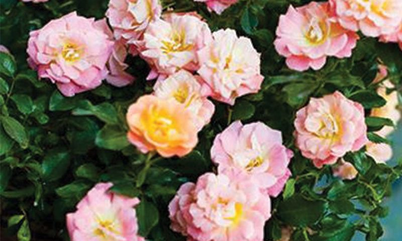peach drift rose rosa ftimg
