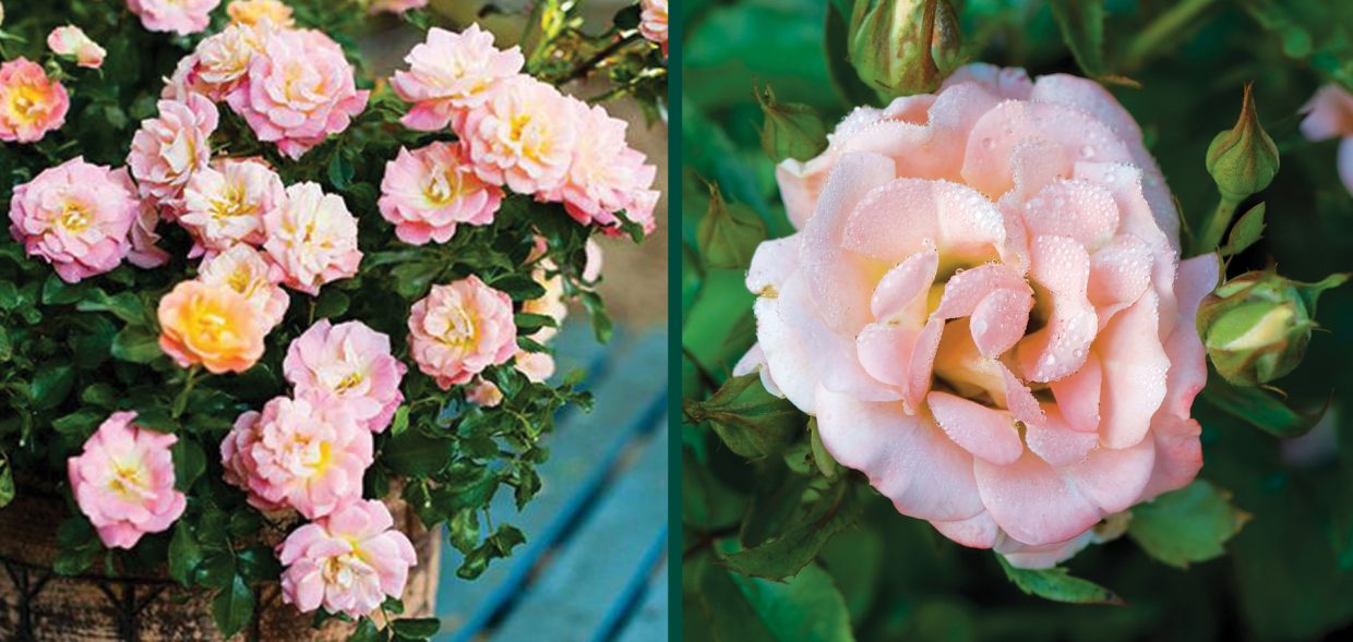 peach drift rose rosa milwaukee