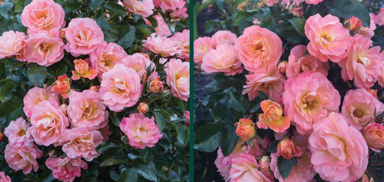 peach drift rose rosa waukesha