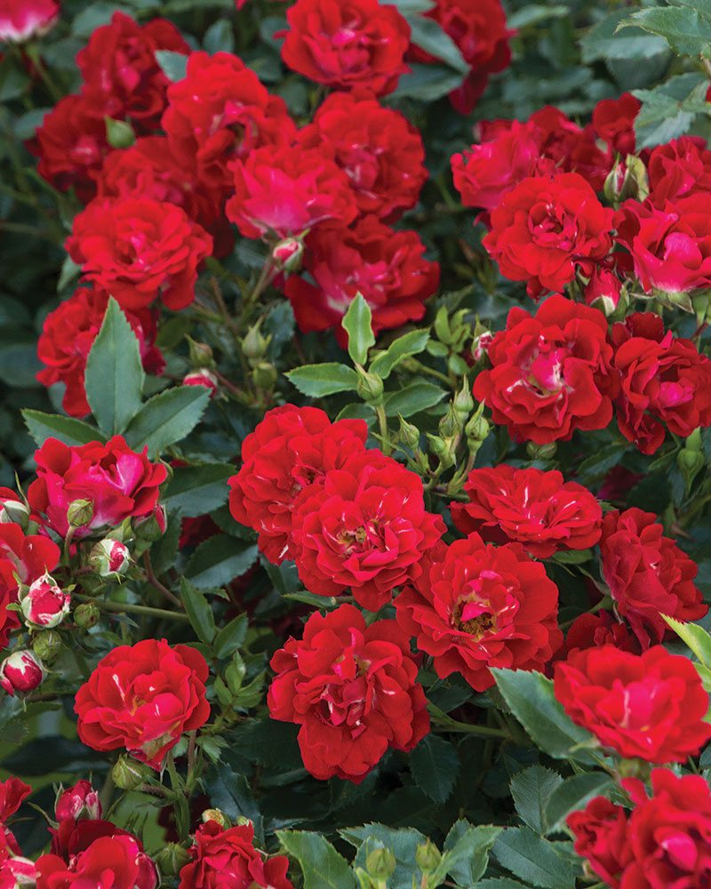 red drift rose rosa ftimg