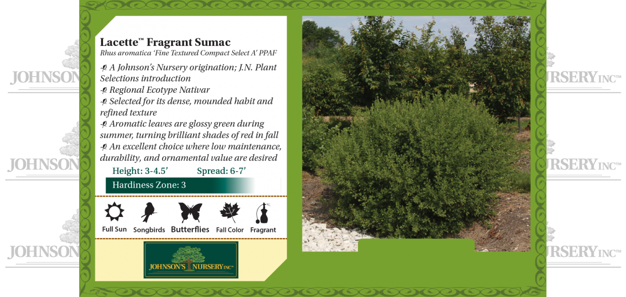 Lacette™ Fragrant Sumac Rhus aromatica 'Fine Textured Compact Select A' PP28,669 benchcard