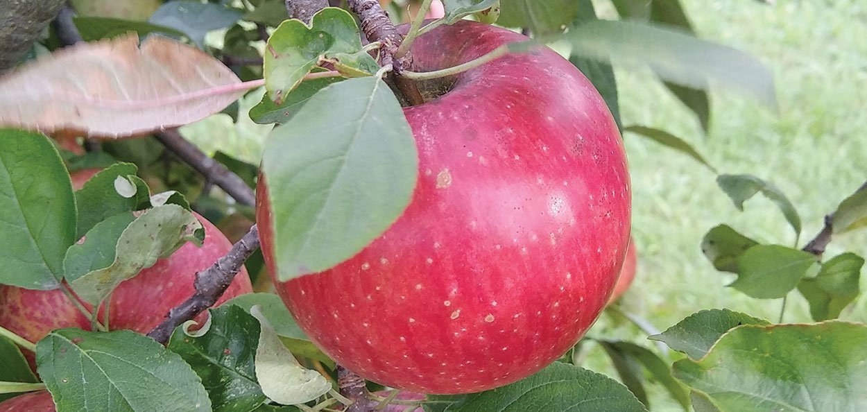 haralson apple malus domestica