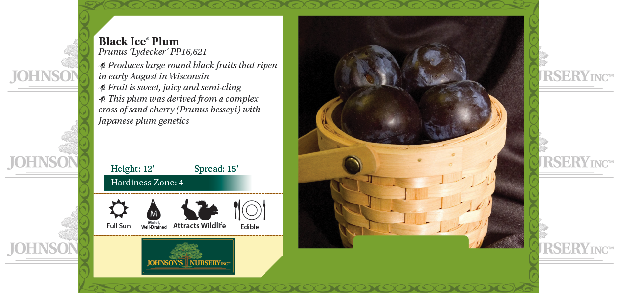 Black Ice Plum Pruunus 'Lydecker' benchcard