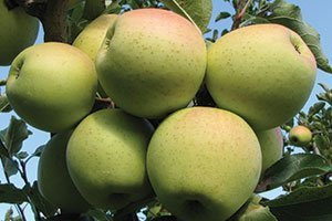 golden delicious apple malus domestica catalog