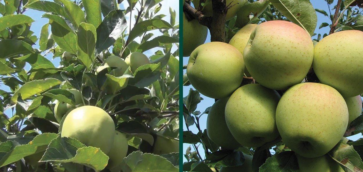 golden delicious apple malus domestica fruit tree wisconsin milwaukee grow