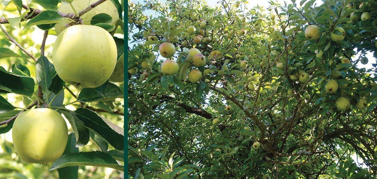 golden delicious apple malus domestica fruit tree wisconsin milwaukee