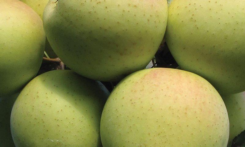 golden delicious apple malus domestica ftimg