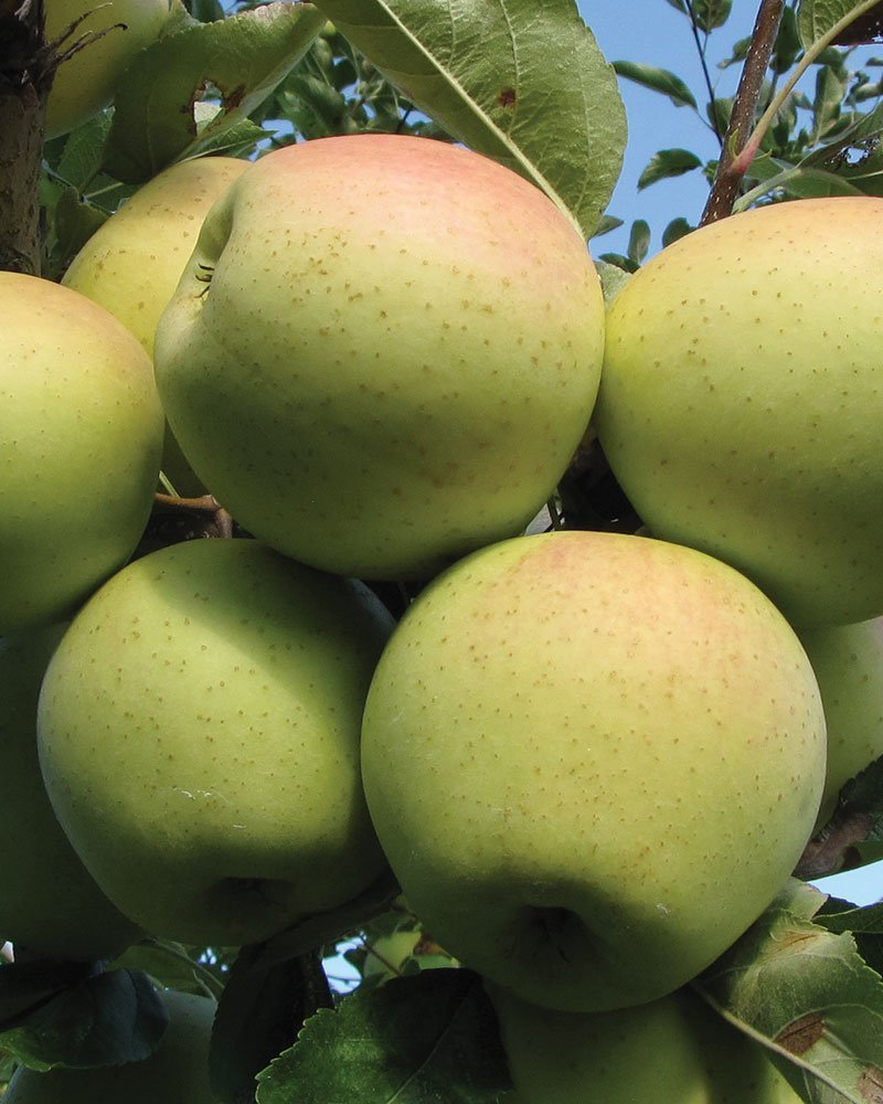 golden delicious apple malus domestica ftimg
