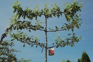 hat trick espalier apple tree malus catalog