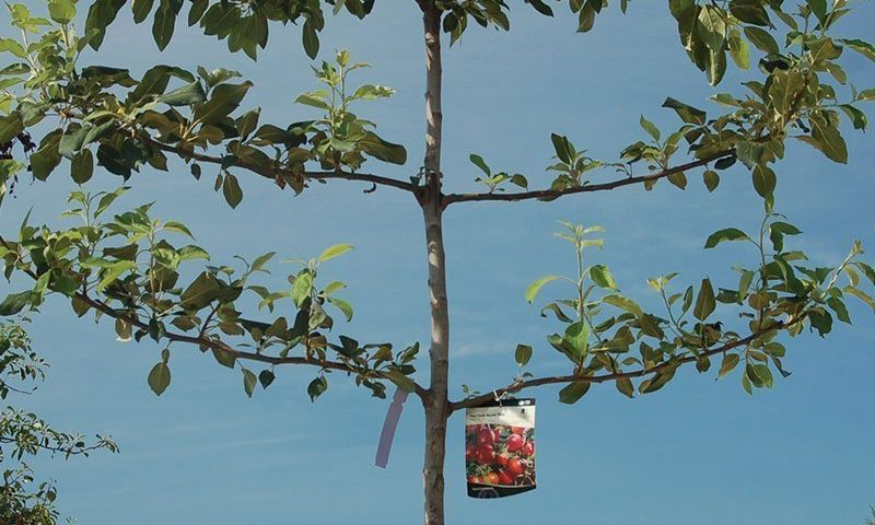hat trick espalier apple tree malus ftimg