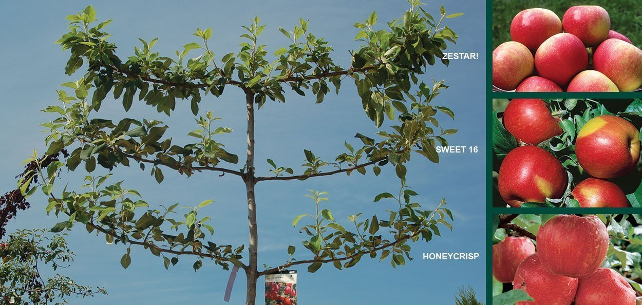 hat trick espalier apple tree malus grow orchard fruit milwaukee wisconsin