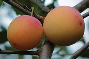 la crescent plum pruning catalog