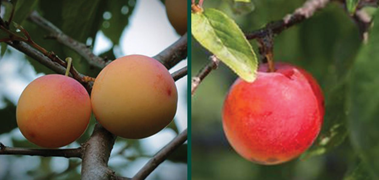 la crescent plum pruning fruit plant wisconsin milwaukee