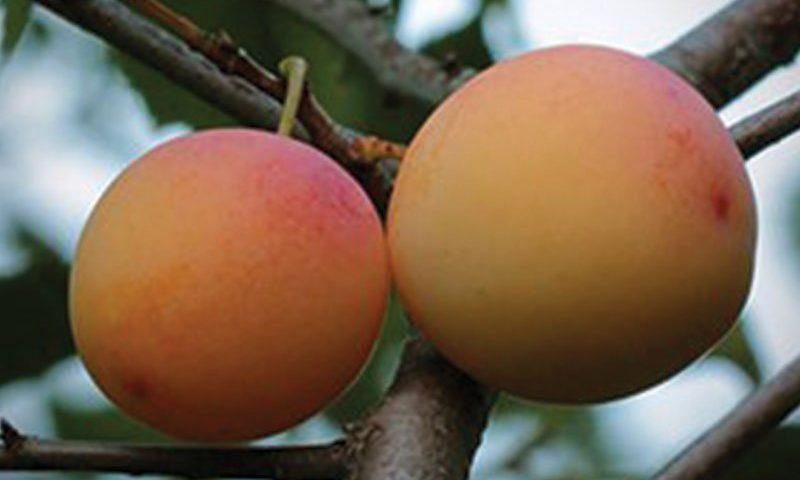 la crescent plum pruning ftimg