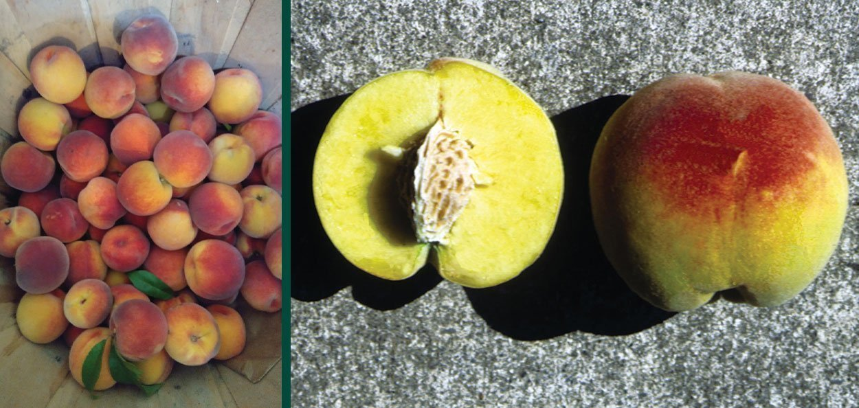 contender peach prunus persica paul harvest and fruit profile