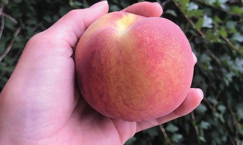 reliance peach prunus persica at johnson's nursery fruits ftimg